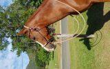 Purebred Arab Gelding.  on HorseYard.com.au (thumbnail)