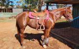Lovely Stock Horse Mare  on HorseYard.com.au (thumbnail)