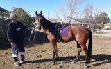 Gentleman dudly  on HorseYard.com.au (thumbnail)