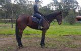 Eventing/Jumping Prospect  on HorseYard.com.au (thumbnail)