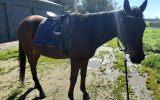 Easygoing OTTB- great trail horse prospect on HorseYard.com.au (thumbnail)
