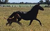 Horses for sale on HorseYard.com.au (thumbnail)
