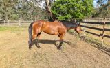 Bo on HorseYard.com.au (thumbnail)