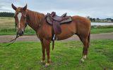Registered paint mare on HorseYard.com.au (thumbnail)