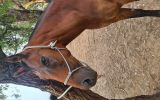 Sweet Mare needs a loving home on HorseYard.com.au (thumbnail)