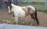 Paint appy mare. on HorseYard.com.au (thumbnail)