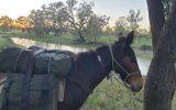 Mule for sale on HorseYard.com.au (thumbnail)