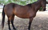 ASH x TB Gelding for Sale on HorseYard.com.au (thumbnail)