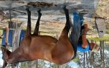 Stockhorse mare on HorseYard.com.au (thumbnail)