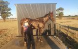 Beautiful Bay TB ***Urgent Sale*** on HorseYard.com.au (thumbnail)