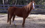 Registered Welsh B Mare on HorseYard.com.au (thumbnail)
