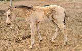 Buckskin QH x Filly on HorseYard.com.au (thumbnail)