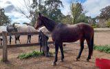 Stormy stockhorse mare on HorseYard.com.au (thumbnail)