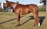 100% Heritage Reg  Stockhorse mare  on HorseYard.com.au (thumbnail)