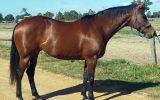 ASH MARE 15HH on HorseYard.com.au (thumbnail)