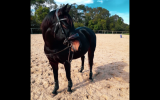 Beautiful Competitive HRCAV or Show or Dressage Mount  on HorseYard.com.au (thumbnail)