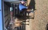 Buckskin Stockhorse  on HorseYard.com.au (thumbnail)