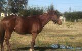 Flashy chestnut gelding on HorseYard.com.au (thumbnail)