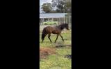 Delta Reg ARP Mare, Project/Broodmare/Show  on HorseYard.com.au (thumbnail)