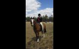 13 Welsh 18year old gelding on HorseYard.com.au (thumbnail)