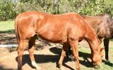 'Redman' 16.2hh Chestnut TB Gelding on HorseYard.com.au (thumbnail)