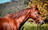 Buckskin Pony Mare  on HorseYard.com.au (thumbnail)