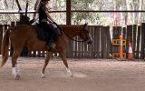 Registered QH gelding 5yrs 15hh on HorseYard.com.au (thumbnail)