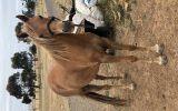 Multi registered riding pony  on HorseYard.com.au (thumbnail)