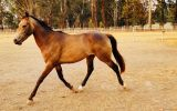 Stunning Buckskin Colt on HorseYard.com.au (thumbnail)