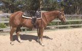 Beautiful gelding on HorseYard.com.au (thumbnail)