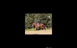 Quiet TBXQH gelding on HorseYard.com.au (thumbnail)