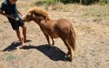 Rocky: Miniature Stallion, Ginger/Chestnut on HorseYard.com.au (thumbnail)
