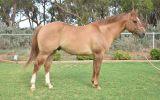 Appaloosa x QH red dun gelding on HorseYard.com.au (thumbnail)