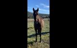 Sweet natured mare  on HorseYard.com.au (thumbnail)
