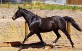 Richmeed Medallion Mare on HorseYard.com.au (thumbnail)