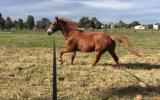 Quiet QH xTB  on HorseYard.com.au (thumbnail)