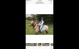 12.2 welsh Gelding  on HorseYard.com.au (thumbnail)