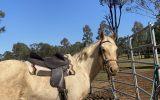 Project qh palomino gelding  on HorseYard.com.au (thumbnail)