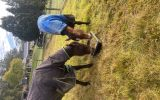 Thoroughbred gelding and standardbred mare  on HorseYard.com.au (thumbnail)