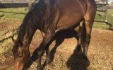 Big friendly Giant - TB Gelding  on HorseYard.com.au (thumbnail)