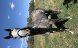 Grey Serene OTTB on HorseYard.com.au (thumbnail)
