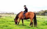 16hh TB mate  on HorseYard.com.au (thumbnail)