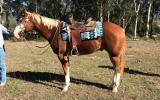Lovely Paint Gelding on HorseYard.com.au (thumbnail)