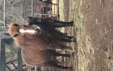 Miniature horse with foal  on HorseYard.com.au (thumbnail)