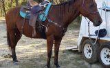 'CEDERVALE CATTLEGIRL'  on HorseYard.com.au (thumbnail)