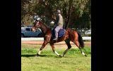 HUGE MOVING OTTB GELDING  on HorseYard.com.au (thumbnail)