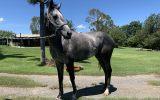 6yo OTT Mare MISS CELITA on HorseYard.com.au (thumbnail)