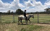 Registered Welsh Gelding on HorseYard.com.au (thumbnail)