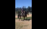 Percheron x mare on HorseYard.com.au (thumbnail)