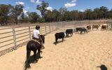 riding pony on HorseYard.com.au (thumbnail)